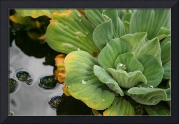 green water lettuce