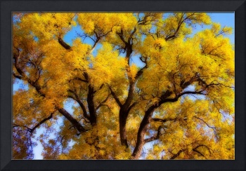 Old Giant Golden Autumn Cottonwood Dream
