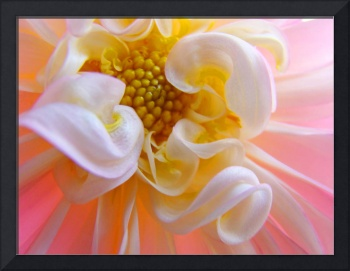 Floral art prints pink white Dahlia Flower Baslee