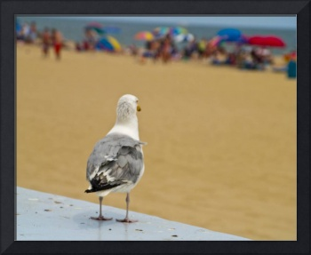 Gull Looking at Swimmers