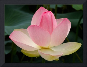 Lotus Flower in Lovely Bloom