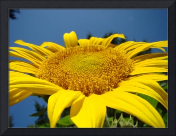 Sunflower Art Print Blue Sky Floral Baslee
