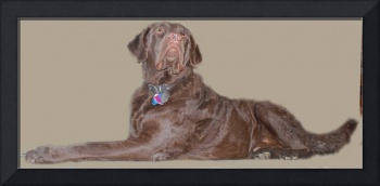 Chesapeake Bay Retriever Dog