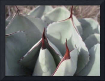 Thorns of the Rose Cactus