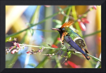 Humming Bird-12 copy
