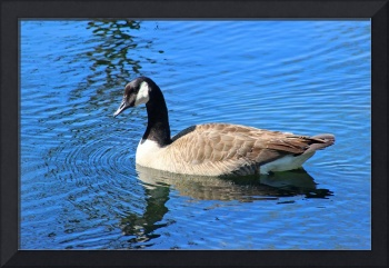 Canada Goose in Blue Water 2016