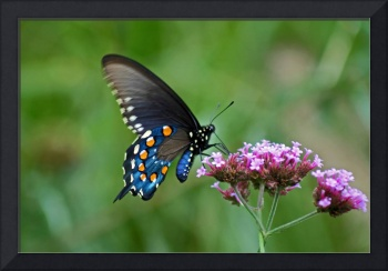 Butterfly  Pipevine Swallowtail