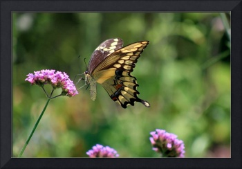 Giant Swallowtail Butterfly on Verbena