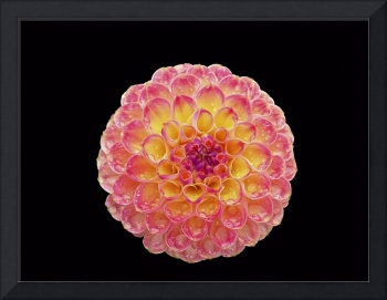 Pink and Yellow Dahlia on a Black Background