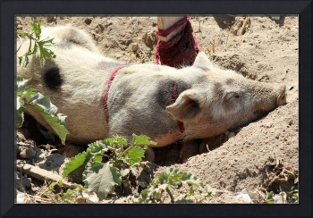 Pig Wallowing in Dirt