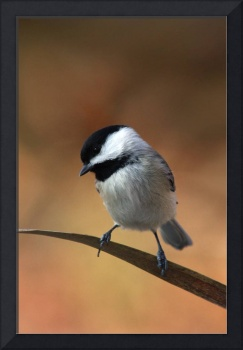 Carolina Chickadee - On Reed