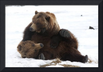 Brown Bears Wrestle Playfully In Snow At The Wildl