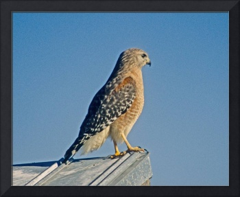 Birds Red-shouldered Hawk