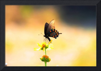 Pipevine Swallowtail Butterfly 3