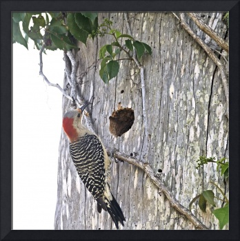 Red-Bellied Woodpecker at Nest Hole