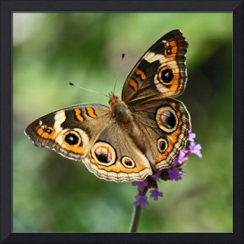 Butterfly  Buckeye close-up