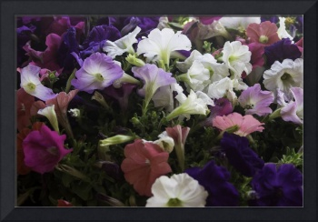 Multicolored Petunias