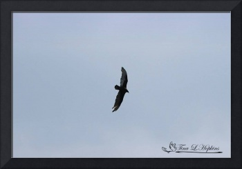 Turkey Vulture 20120421_137a