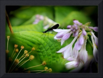 Ebony Jewelwing Damselfly  2016