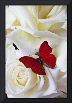 Red butterfly on white roses close up