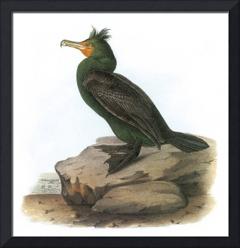 Double-Crested Cormorant Bird Audubon Print