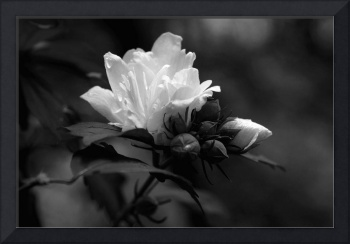 Rose of Sharon   B&W