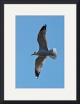 Sea Gull Soaring by Rich Kaminsky