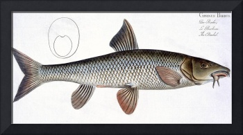 Barbel (Cyprinus Barbus)