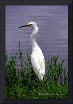 Egret At Reed Canal Park