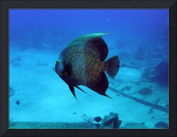 Black angel fish 3