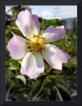 old fashioned roses, Fox Creek & Columbia River 3