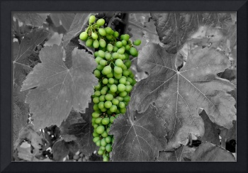 Grapes in the Vineyard_COLOR and B&W_4290