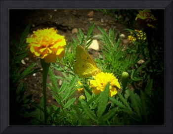 Yellow Butterfly, Yellow Flowers