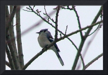 Blue Jay's Front