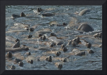Curious Sea Lion Crowd
