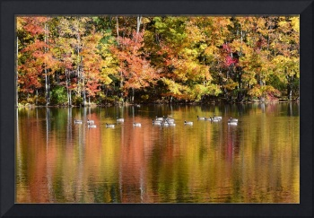 Dean Park Canada Geese in Fall Colors