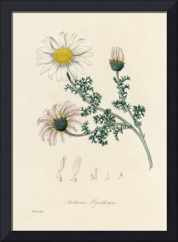 Vintage Botanical Mount Atlas Daisy