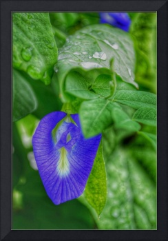 Blue Wild Pea Flower and Green Leaves with Water D
