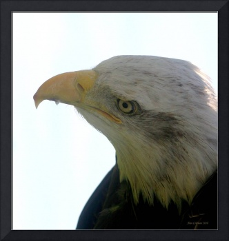 portrait of a bald eagle.