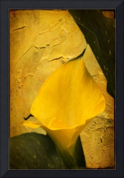 Yellow Calla Lily - Texture Enhanced