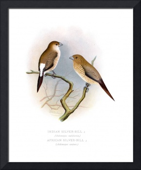 Indian Silver-Bill and African Silver-Bill (1899)