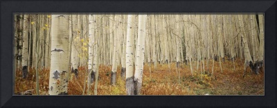 Aspen trees in the forest