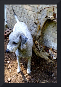 Bedlington in the Garden