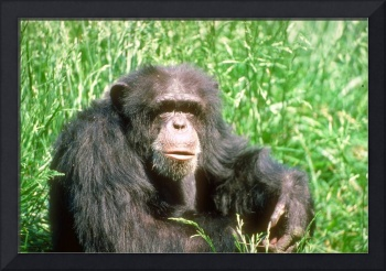 Endangered Adult Chimpanzee Sitting in Sunny Grass