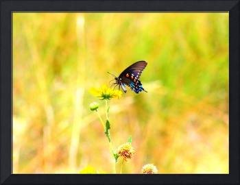 Pipevine Swallowtail Butterfly 2