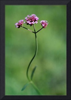 Dancing Verbena Flower