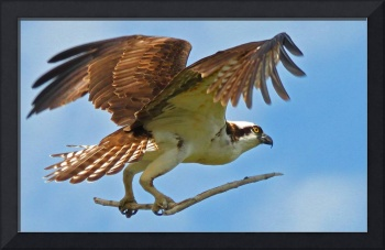 Osprey with Twig #2
