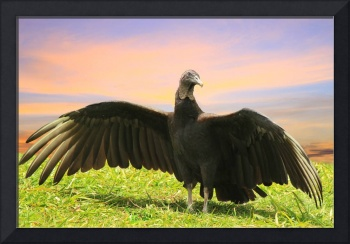 guatemalan vulture with wings spread