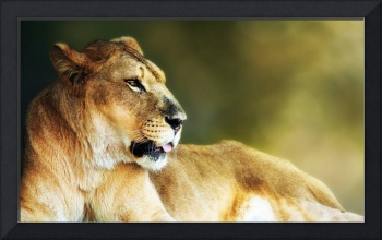Closeup of Lioness With Copy Space