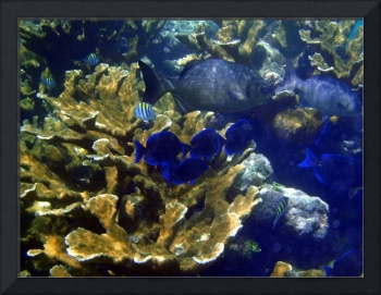 Belize Mustard Corals and Fish
